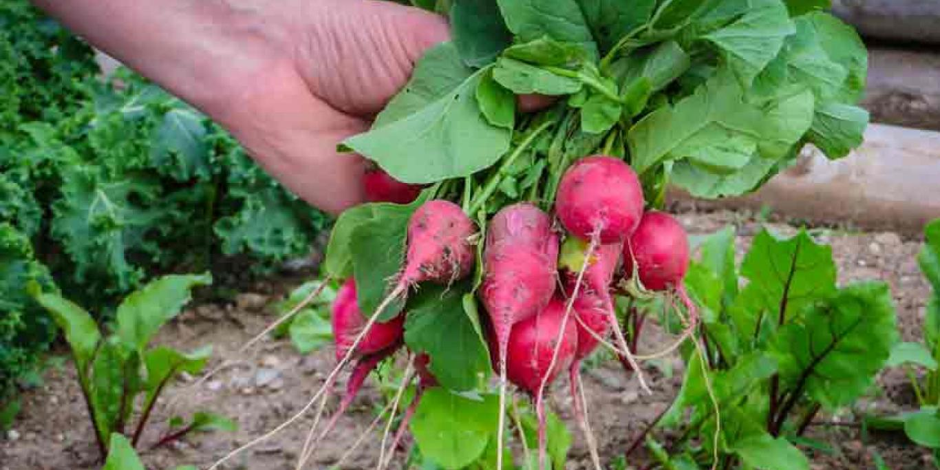 Nourish Havelock Community Garden beet harvest