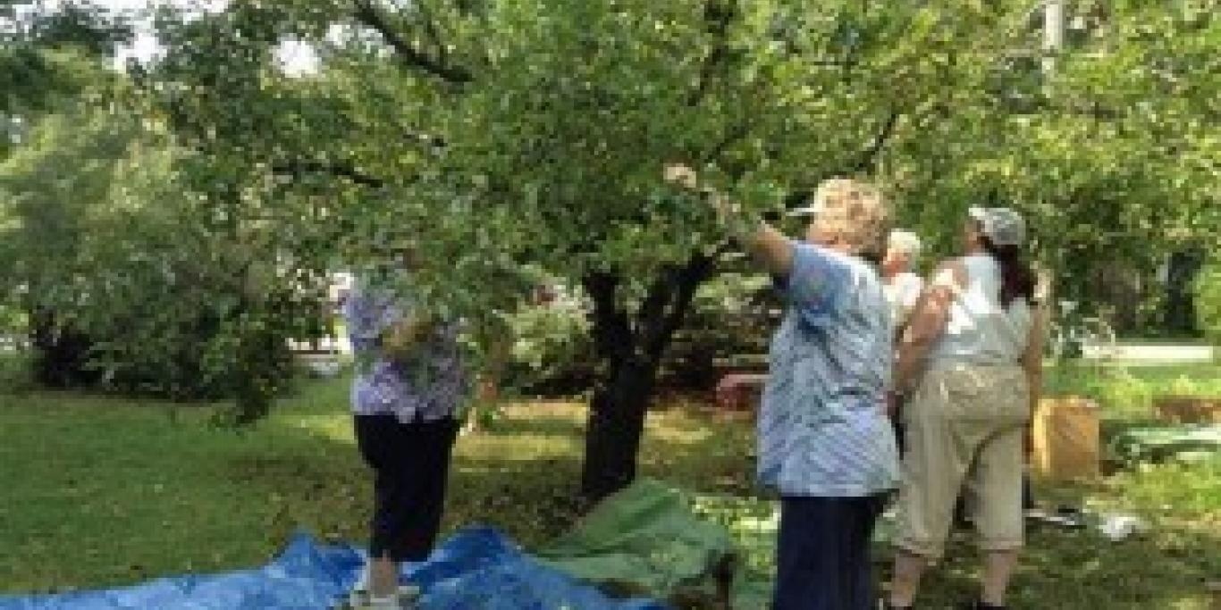 gleaners picking apples 1